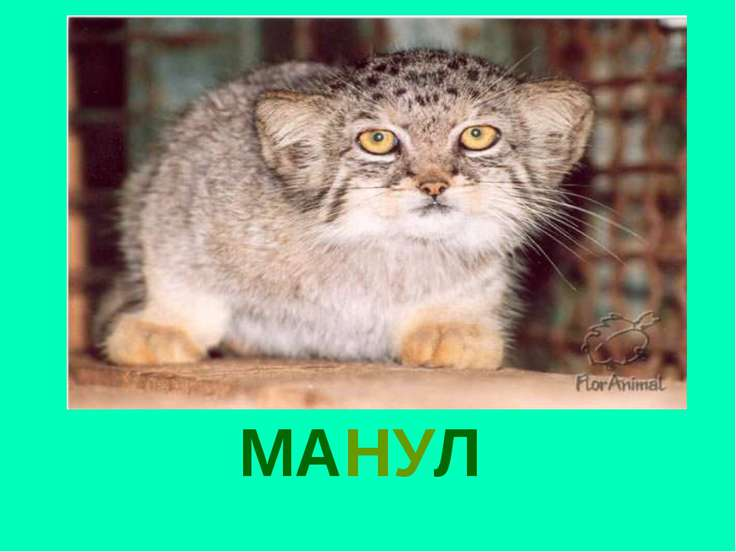 МАНУЛ Манул