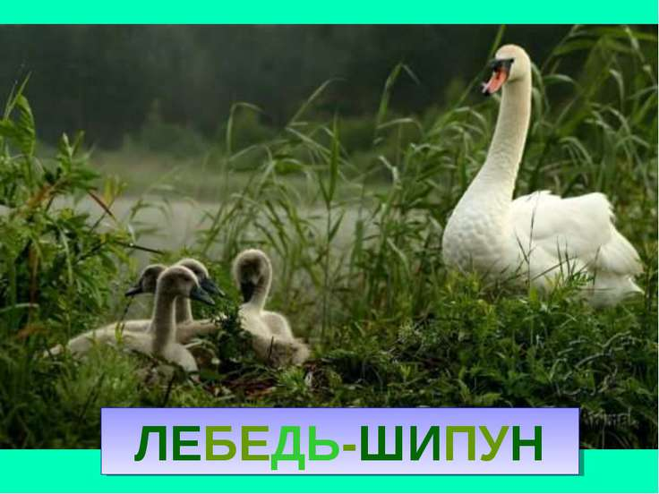ЛЕБЕДЬ-ШИПУН Лебедь-шипун
