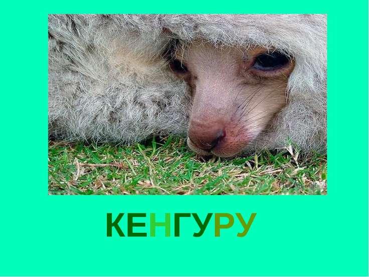 КЕНГУРУ Кенгуру