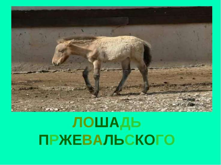 ЛОШАДЬ ПРЖЕВАЛЬСКОГО Лошадь пржевальского