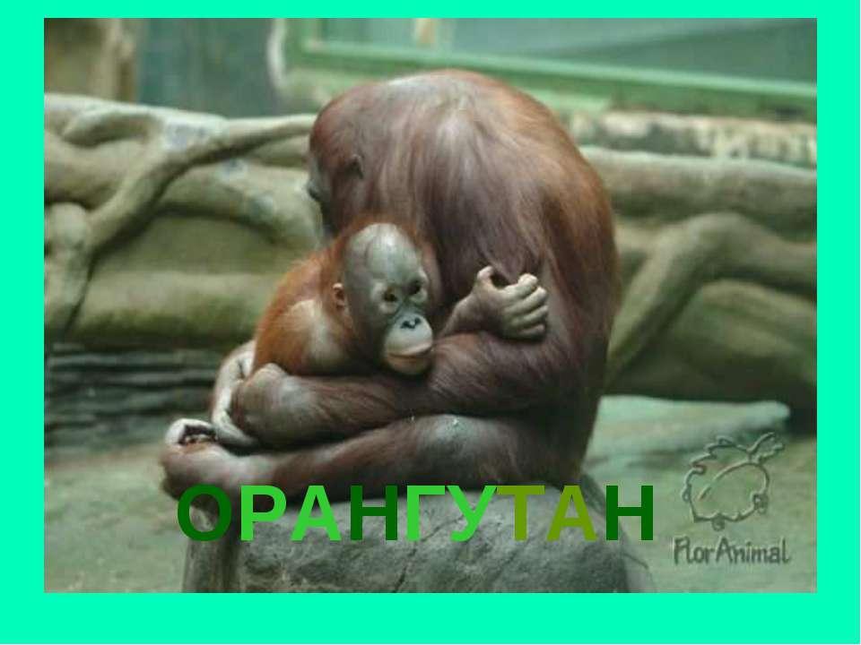 ОРАНГУТАН Орангутан