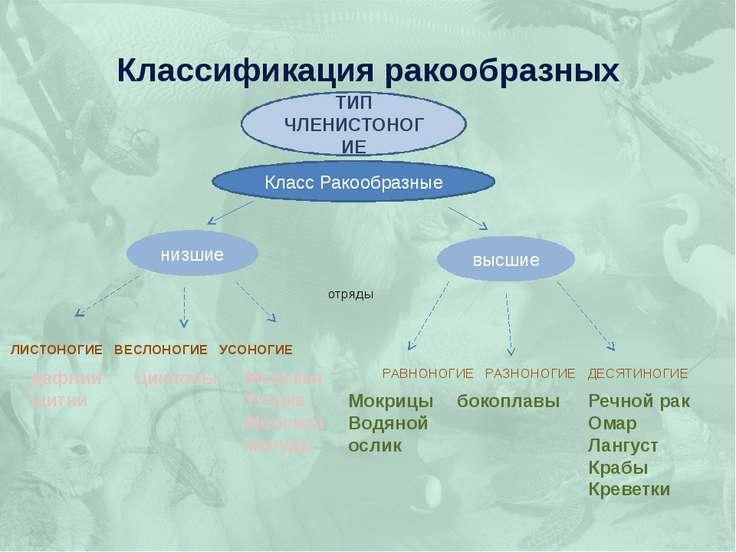 Классификация ракообразных отряды  ЛИСТОНОГИЕ ВЕСЛОНОГИЕ УСОНОГИЕ РАВНОНОГ...