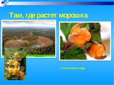 Там, где растет морошка Солнечная ягода