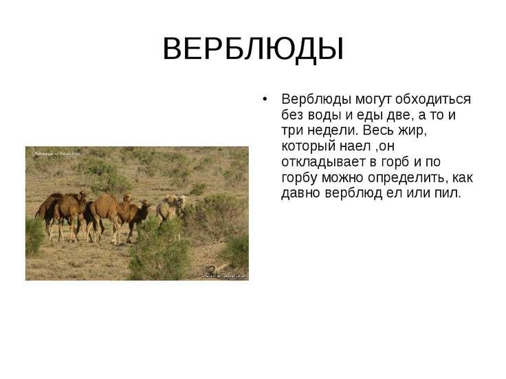 ВЕРБЛЮДЫ Верблюды могут обходиться без воды и еды две, а то и три недели. Вес...