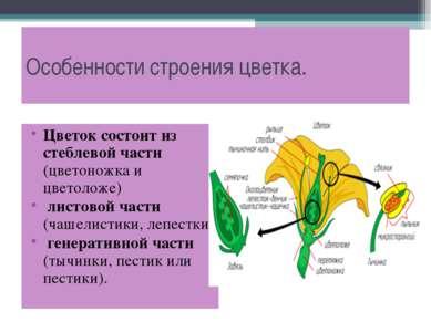 Особенности строения цветка. Цветок состоит из стеблевой части (цветоножка и ...