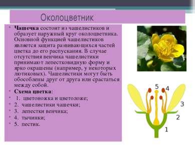 Околоцветник Чашечка состоит из чашелистиков и образует наружный круг околоцв...