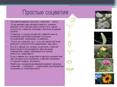Простые соцветия Основной вариант простых соцветий — кисть. Если нижние цвето...