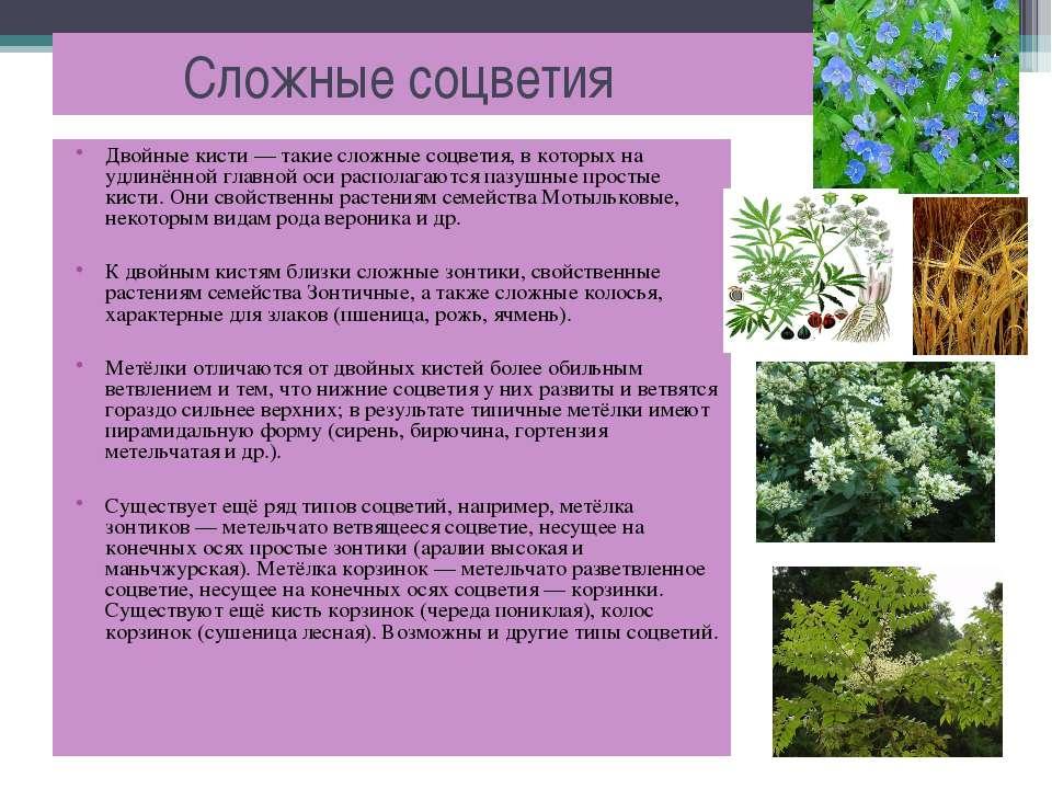 Сложные соцветия Двойные кисти — такие сложные соцветия, в которых на удлинён...