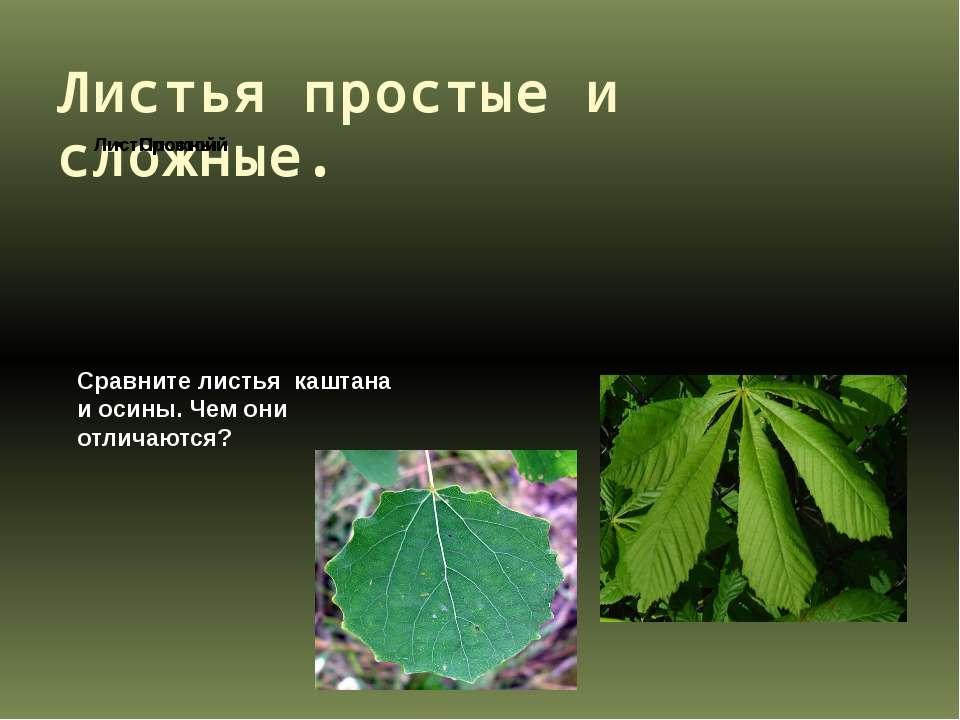 Листья простые и сложные. Сравните листья каштана и осины. Чем они отличаются?