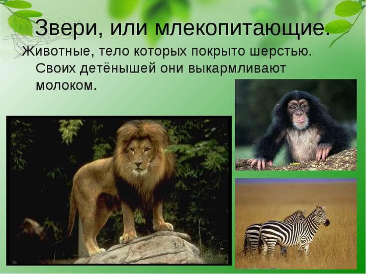 Звери, или млекопитающие. Животные, тело которых покрыто шерстью. Своих детён...