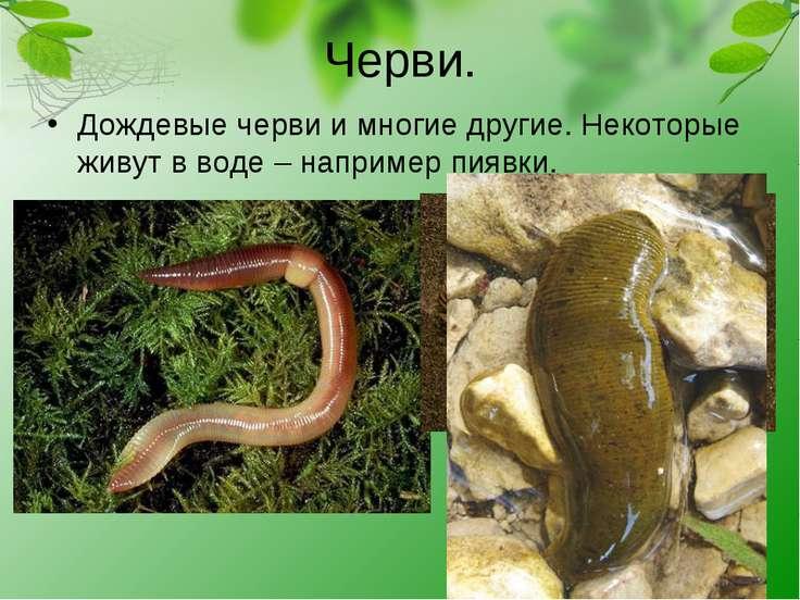 Черви. Дождевые черви и многие другие. Некоторые живут в воде – например пиявки.