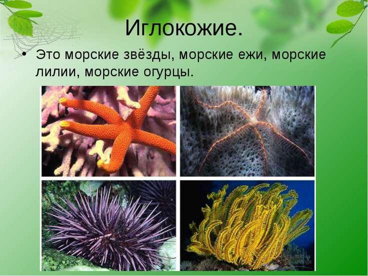Иглокожие. Это морские звёзды, морские ежи, морские лилии, морские огурцы.