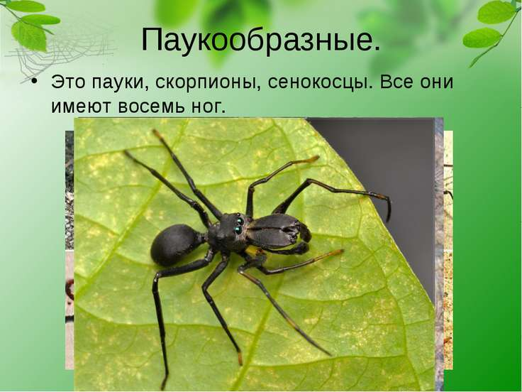 Паукообразные. Это пауки, скорпионы, сенокосцы. Все они имеют восемь ног.