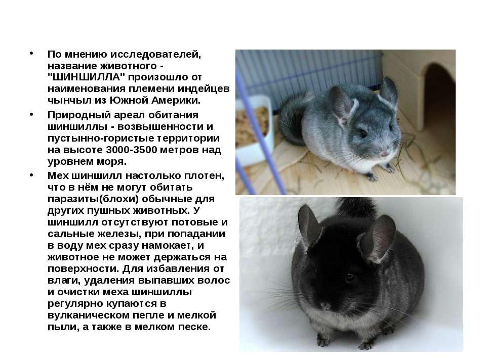 "По мнению исследователей, название животного - ""ШИНШИЛЛА"" произошло от наимен..."