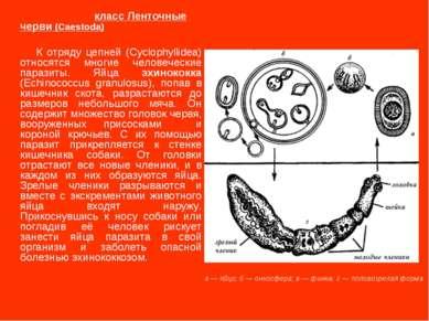 класс Ленточные черви (Caestoda) К отряду цепней (Cyclophyllidea) относятся м...