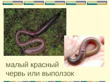 малый красный червь или выползок