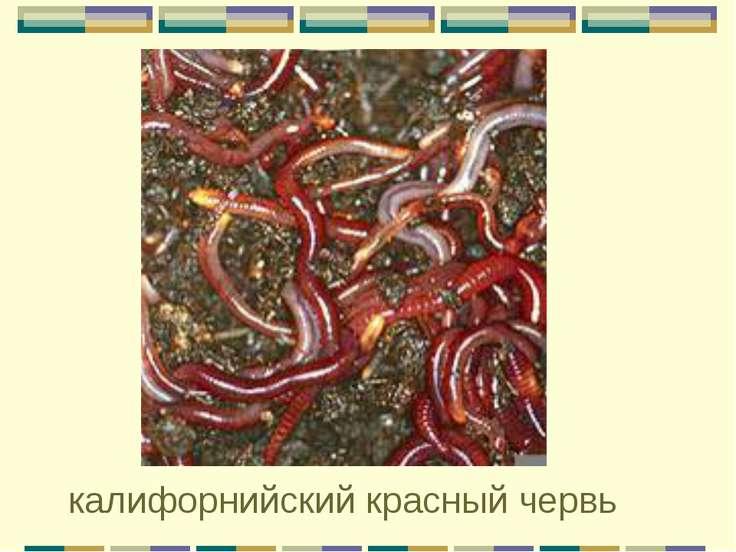 калифорнийский красный червь