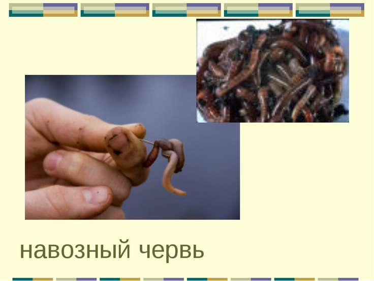 навозный червь