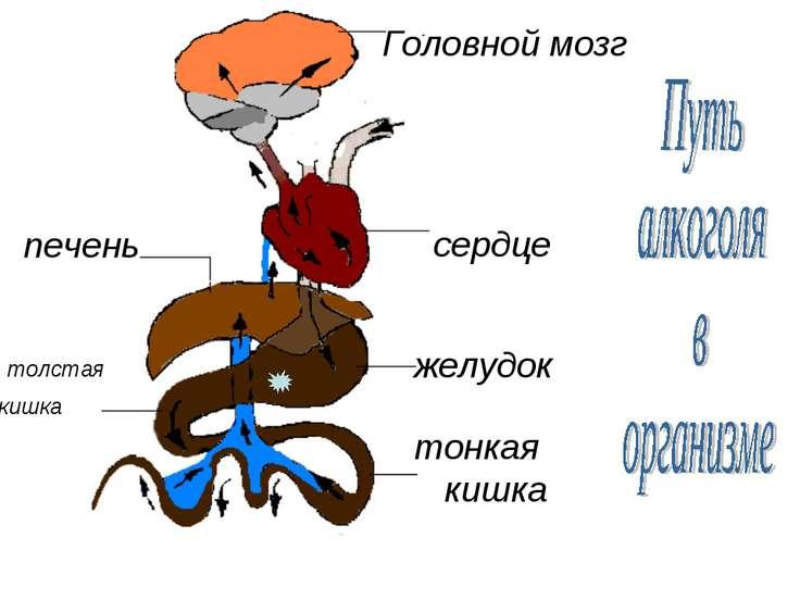 Головной мозг сердце печень желудок тонкая кишка толстая кишка
