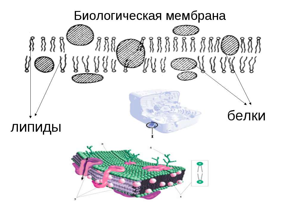Биологическая мембрана липиды белки