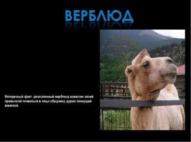 ВЕРБЛЮДЫ -род млекопитающих семейства верблюдовых отряда парнокопытных. Предс...