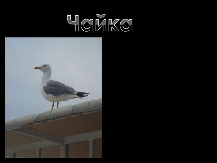 Чайка— крупная птица семейства чайковых , широко распространённая в Европе , ...