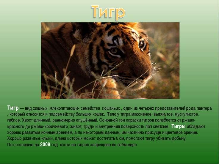 Тигр — вид хищных млекопитающих семейства кошачьих , один из четырёх представ...