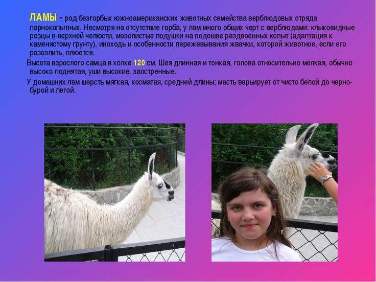 ЛАМЫ - род безгорбых южноамериканских животных семейства верблюдовых отряда п...