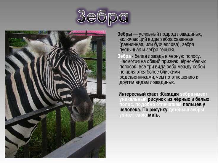 Зебры — условный подрод лошадиных, включающий виды зебра саванная (равнинная,...