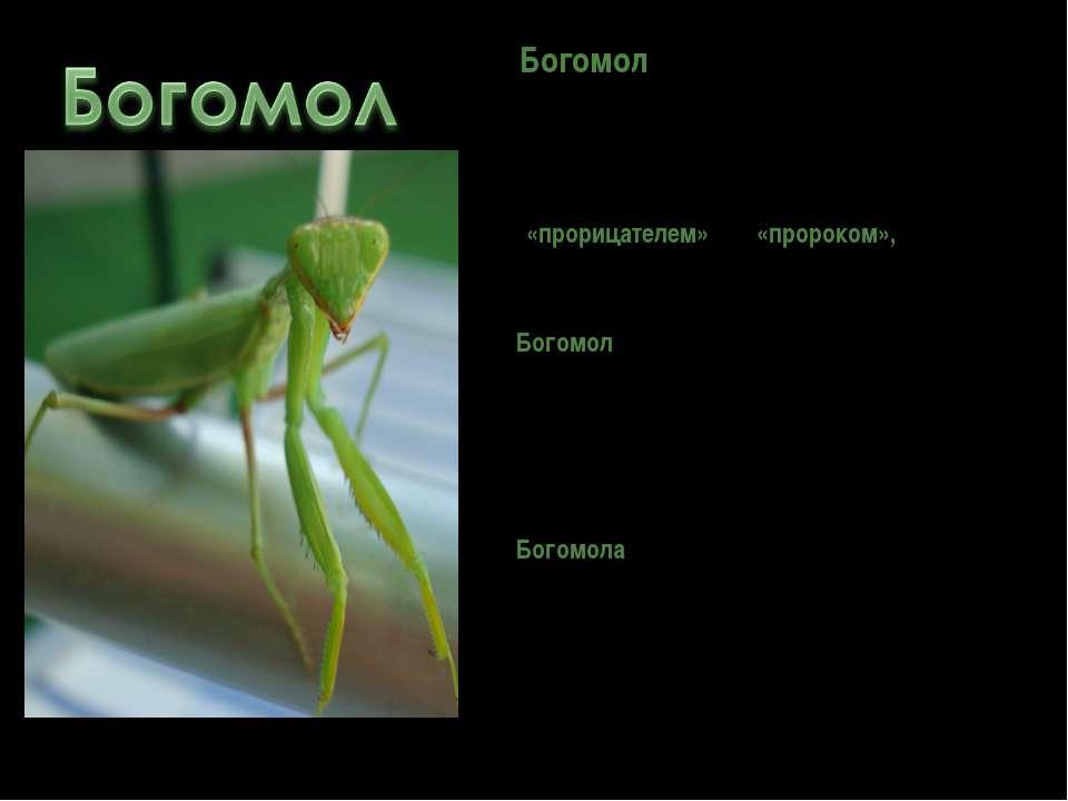 Богомол— насекомое юга. Форма его тела и нрав чрезвычайно странны. Народное ...