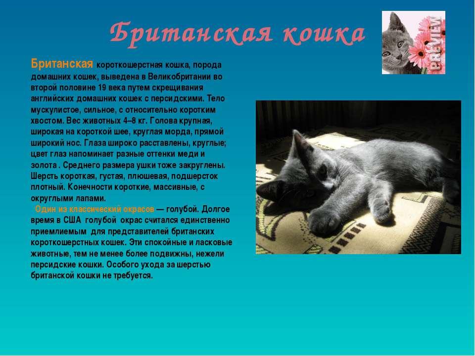 Британская кошка Британская короткошерстная кошка, порода домашних кошек, выв...
