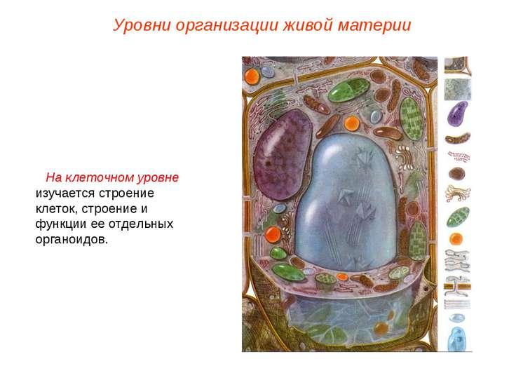 На клеточном уровне изучается строение клеток, строение и функции ее отдельны...