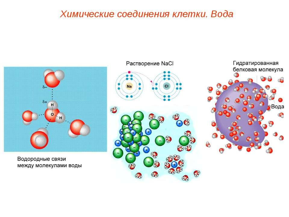 Химические соединения клетки. Вода