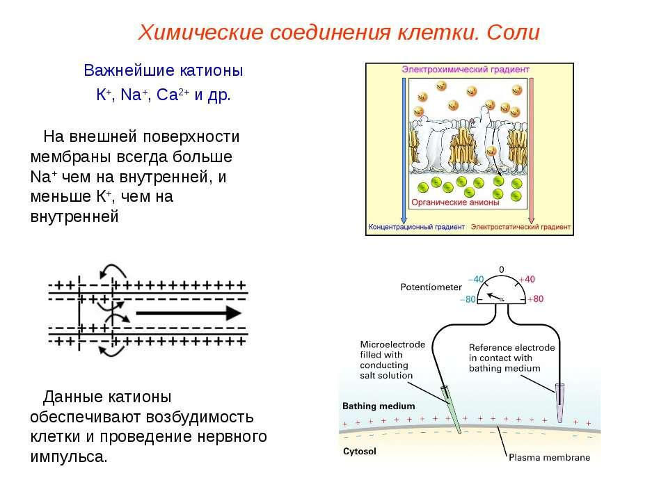 Важнейшие катионы К+, Na+, Ca2+ и др. Данные катионы обеспечивают возбудимост...