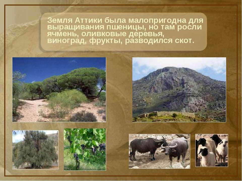 Земля Аттики была малопригодна для выращивания пшеницы, но там росли ячмень, ...