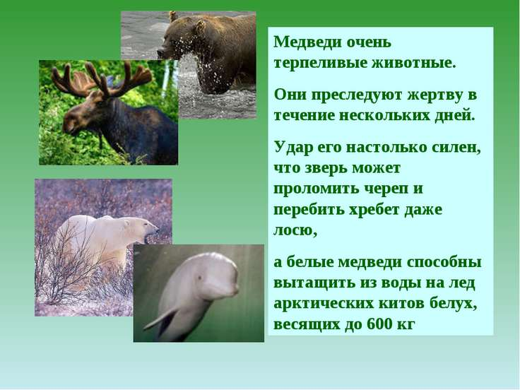 Медведи очень терпеливые животные. Они преследуют жертву в течение нескольких...