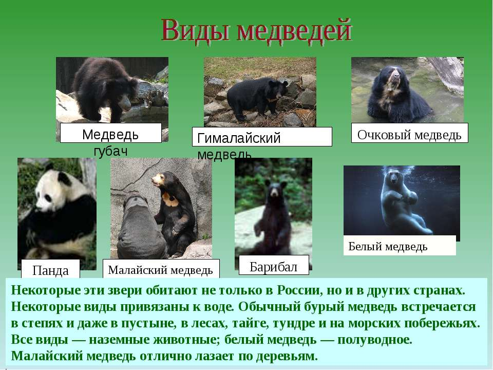 Малайский медведь Гималайский медведь Медведь губач Панда Барибал Очковый мед...