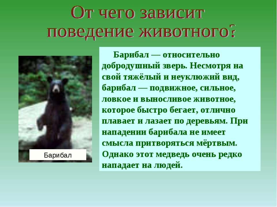 Барибал — относительно добродушный зверь. Несмотря на свой тяжёлый и неуклюжи...