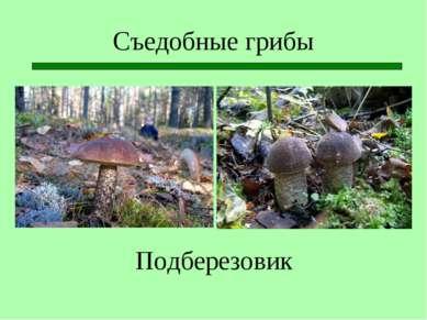 Съедобные грибы Подберезовик