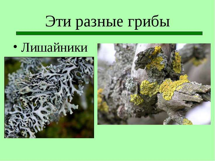 Эти разные грибы Лишайники