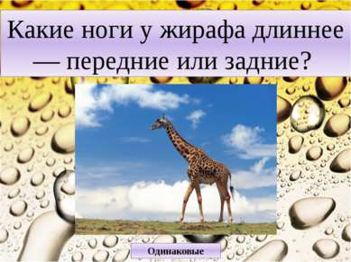Какие ноги у жирафа длиннее — передние или задние? Одинаковые