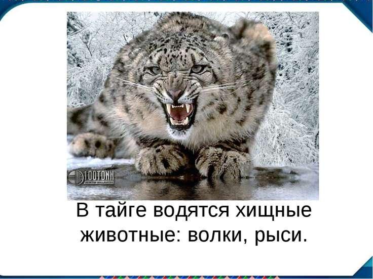 В тайге водятся хищные животные: волки, рыси.