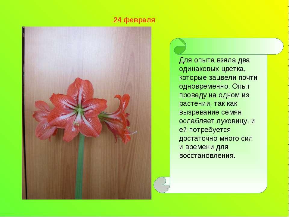 Для опыта взяла два одинаковых цветка, которые зацвели почти одновременно. Оп...
