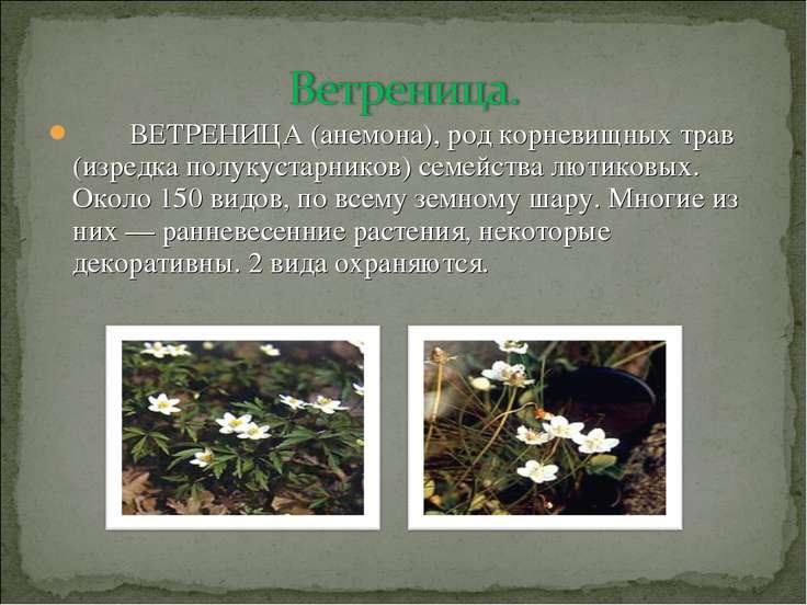 ВЕТРЕНИЦА (анемона), род корневищных трав (изредка полукустарников) семейства...