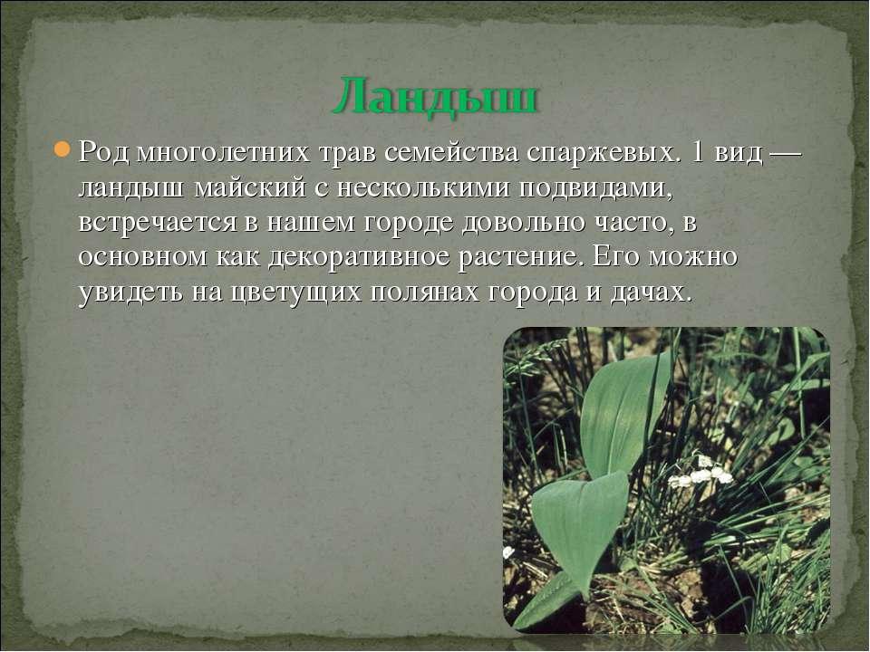 Род многолетних трав семейства спаржевых. 1 вид — ландыш майский с нескольким...
