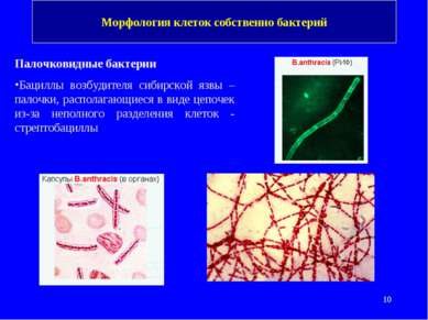 Морфология клеток собственно бактерий Палочковидные бактерии Бациллы возбудит...