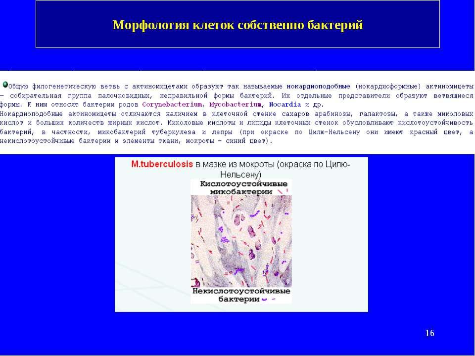 Морфология клеток собственно бактерий