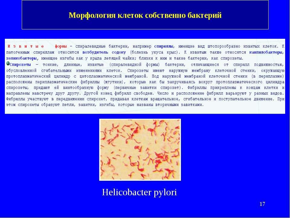 Морфология клеток собственно бактерий Helicobacter pylori
