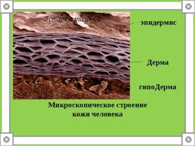 Микроскопическое строение кожи человека эпидермис Дерма гипоДерма
