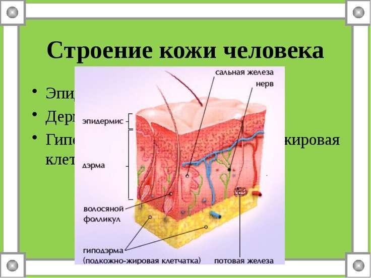 Строение кожи человека Эпидермис – надкожница Дерма - собствено кожа Гиподерм...